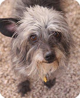 Cairn Terrier Mix Dog for adoption in Phoenix, Arizona - Lexi