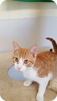 Domestic Shorthair Kitten for adoption in Danville, Indiana - Mozart