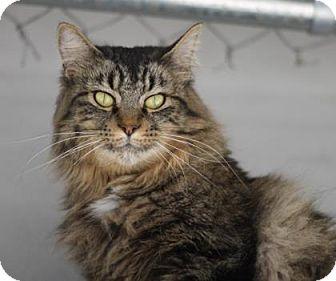 Domestic Longhair Cat for adoption in Walla Walla, Washington - Layla
