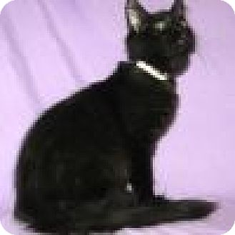 Domestic Shorthair Cat for adoption in Powell, Ohio - Satin