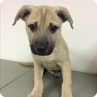 German Shepherd Dog Mix Puppy for adoption in Warwick, Rhode Island - Daisylou