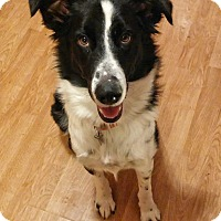 Adopt A Pet :: BB (Buddy Boo Border Collie) - House Springs, MO