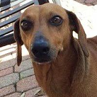 Adopt A Pet :: Violette Veneer - Houston, TX