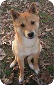 Shiba Inu Dog for adoption in Round Lake, Illinois - Senji