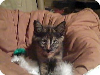 Domestic Shorthair Kitten for adoption in Holmes Beach, Florida - Brigit