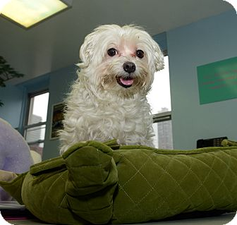Maltese Dog for adoption in New York, New York - Kingston