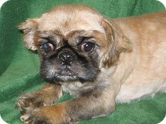 Pekingese Dog for adoption in Prole, Iowa - Dillon