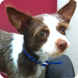 Jack Russell Terrier Mix Dog for adoption in Gilbert, Arizona - Jax