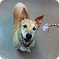 Adopt A Pet :: Shorty - Gilbert, AZ