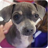 Adopt A Pet :: Julio - Toluca Lake, CA