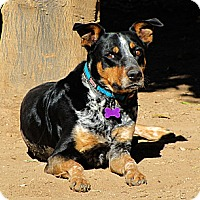 Adopt A Pet :: COWBOY - Phoenix, AZ