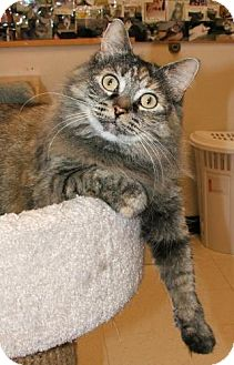 Domestic Longhair Cat for adoption in Atco, New Jersey - Isabella