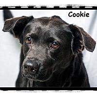 Adopt A Pet :: Cookie - Warren, PA