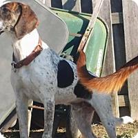 Adopt A Pet :: Hank - Mt. Clemens, MI