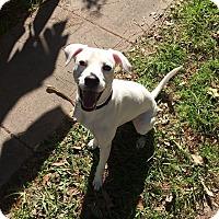 Adopt A Pet :: Starbuck - Houston, TX