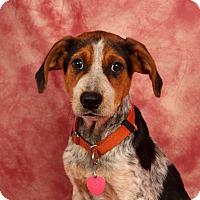 Adopt A Pet :: Banjo Blue - St. Louis, MO