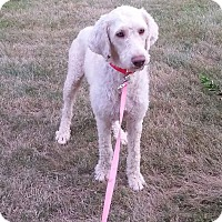 Adopt A Pet :: Chance - New Middletown, OH