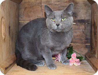 Domestic Shorthair Cat for adoption in Herndon, Virginia - Grace