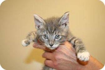 Domestic Shorthair Kitten for adoption in Wildomar, California - 312523