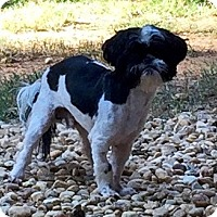 Shih Tzu Mix Dog for adoption in Fayetteville, Georgia - Phillip
