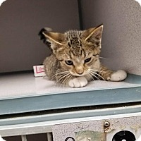 Domestic Shorthair Kitten for adoption in Knoxville, Iowa - Limbo