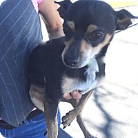 Jack Russell Terrier/Chihuahua Mix Dog for adoption in Englewood, Colorado - CHARLIE