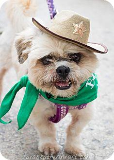 Shih Tzu Dog for adoption in Dallas, Texas - Deacon
