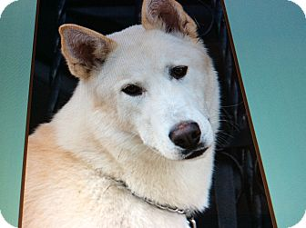 German Shepherd Dog/Husky Mix Dog for adoption in Los Angeles, California - BLIZZARD VON ZITTAU