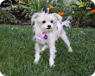 Maltese Mix Dog for adoption in Newport Beach, California - LUCILLE