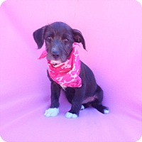 Adopt A Pet :: Califa - Burbank, CA
