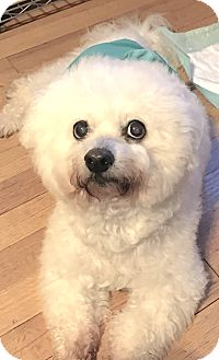 Bichon Frise Dog for adoption in East Hanover, New Jersey - Cubby Bear