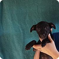 Adopt A Pet :: Lil - Oviedo, FL