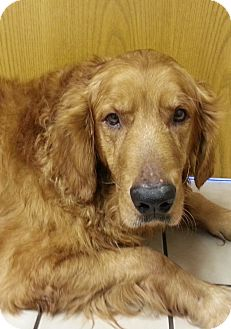 Golden Retriever Dog for adoption in White River Junction, Vermont - Telly