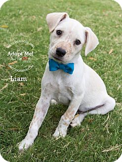 Cattle Dog/Shiba Inu Mix Puppy for adoption in Gilbert, Arizona - Liam