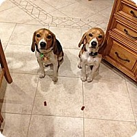 Adopt A Pet :: Beagle Brothers - bloomfield, NJ