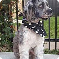 Adopt A Pet :: Maverick - Sugarland, TX