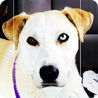 Labrador Retriever/Siberian Husky Mix Dog for adoption in Hagerstown, Maryland - Zen