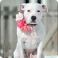 American Staffordshire Terrier Mix Dog for adoption in Dublin, Ohio - Sophie