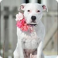Adopt A Pet :: Sophie - Dublin, OH