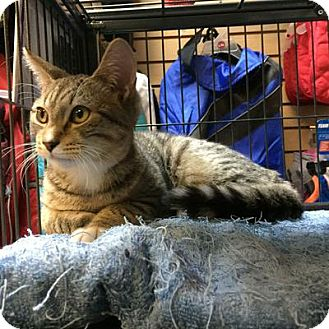 Domestic Shorthair Cat for adoption in Queens, New York - Bunny