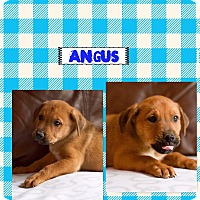 Adopt A Pet :: Angus (POM dc) - Hagerstown, MD