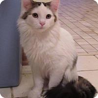 Adopt A Pet :: Milo - Loves Other Kitties - Hillside, IL