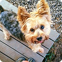 Adopt A Pet :: Yogi with A-Rod - Spartanburg, SC
