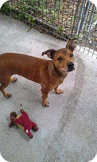 Jack Russell Terrier Mix Dog for adoption in Odessa, Florida - Sully