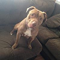 Pit Bull Terrier Mix Dog for adoption in Centerburg, Ohio - Kali