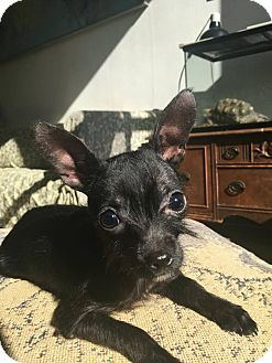 Chihuahua/Miniature Schnauzer Mix Puppy for adoption in San Francisco, California - Pride