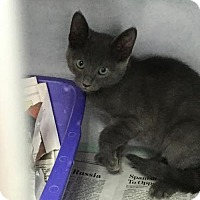Domestic Shorthair Cat for adoption in Manteo, North Carolina - Bananagrams