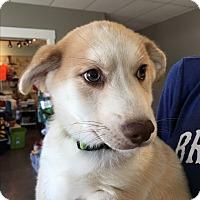 Adopt A Pet :: Bear - St. Charles, MO