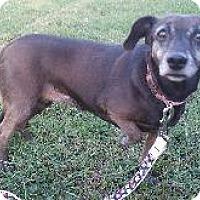 Dachshund Mix Dog for adoption in Louisville, Kentucky - Scarlett