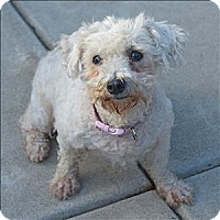 Poodle (Miniature) Mix Dog for adoption in Santa Rosa, California - Riva